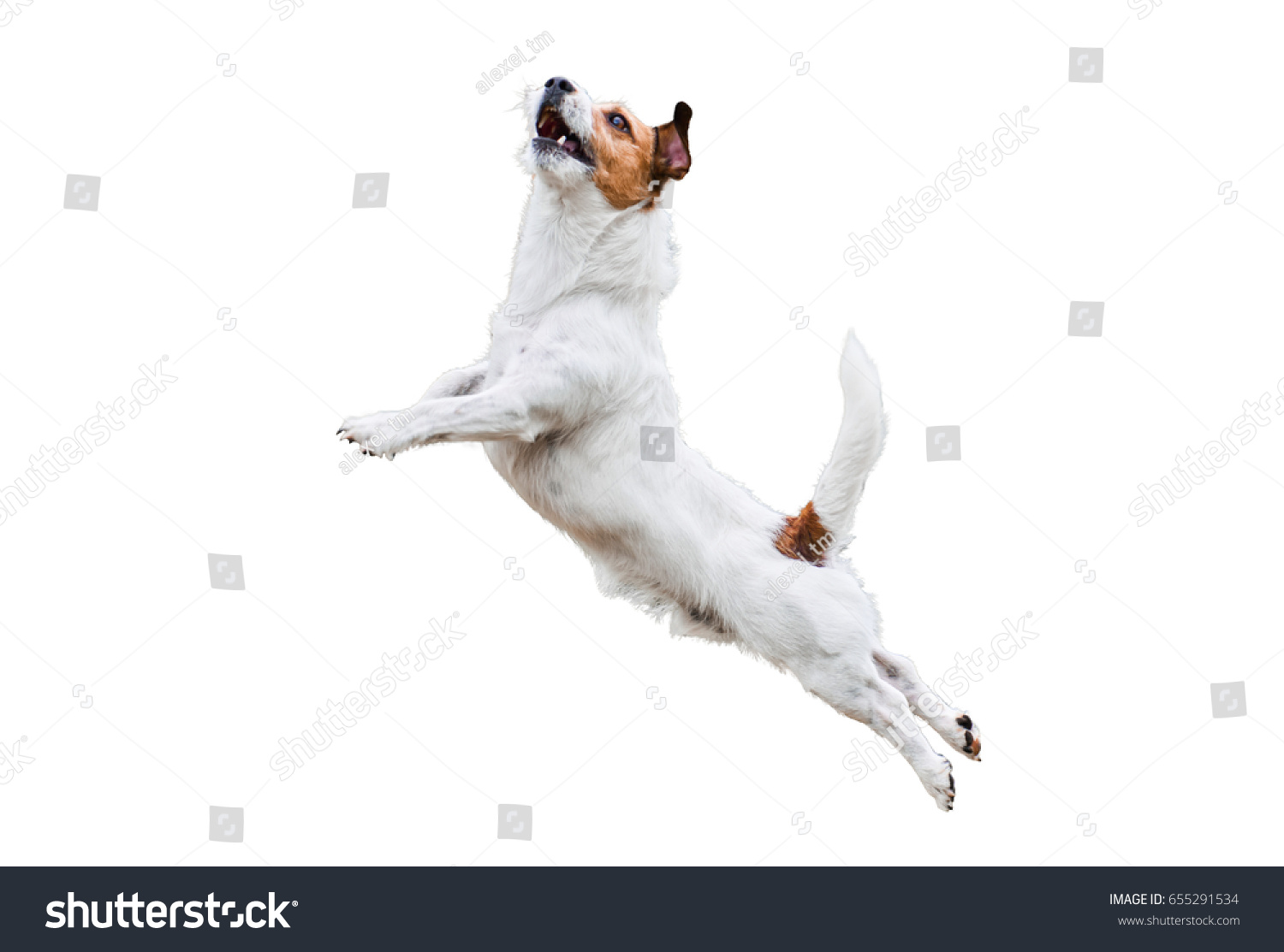 Terrier dog isolated on white jumping and flying high  #655291534