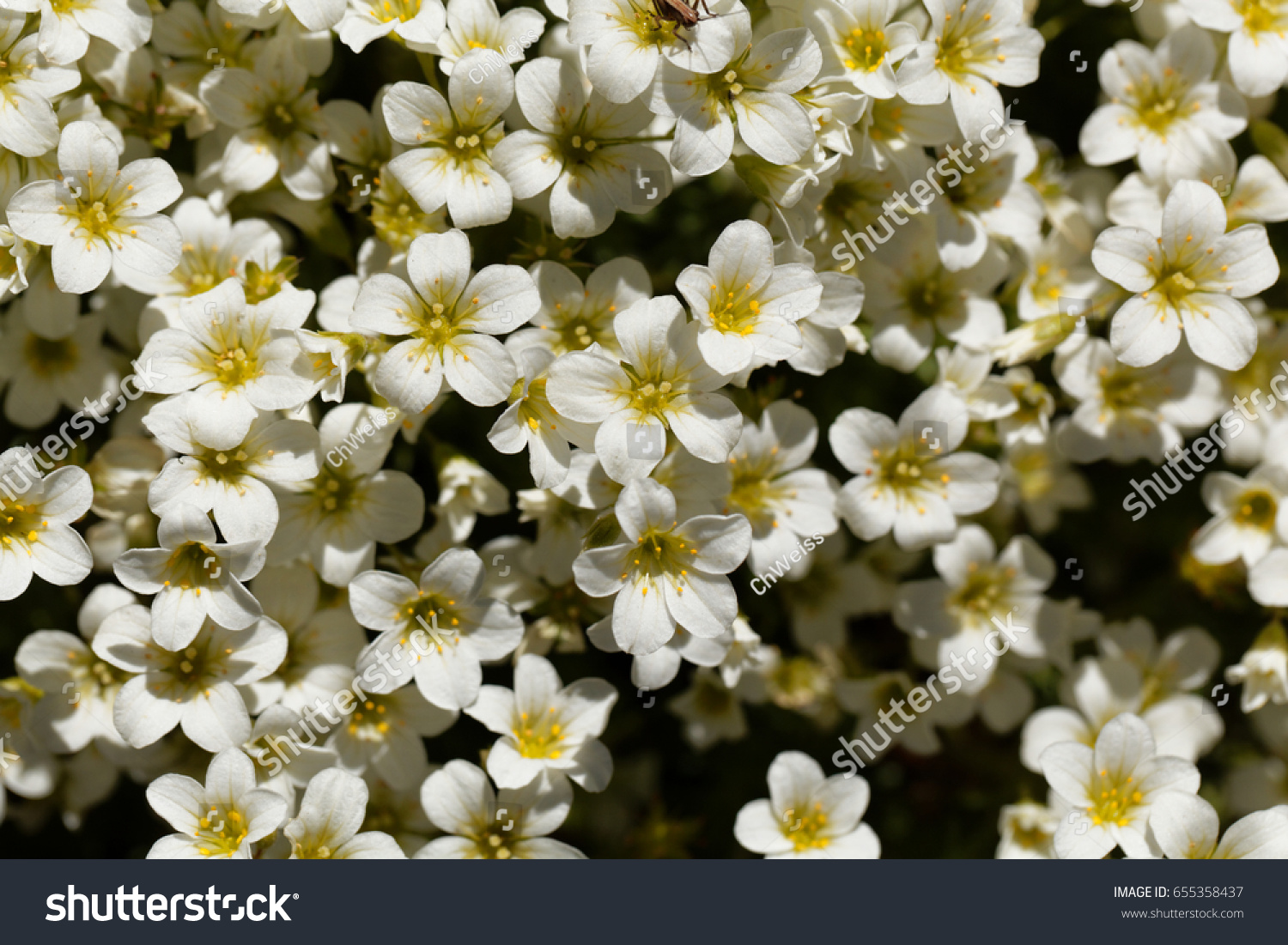 Flowers Of The Rockfoils Saxifraga Ardensii An Alpine Flower From