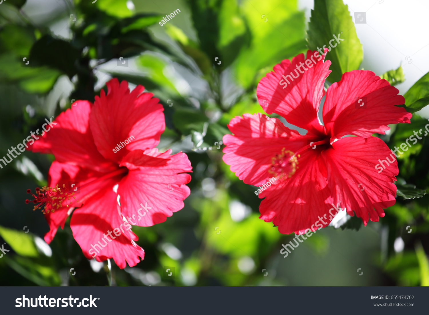 Closeup of a red chinese hibiscus flower ez canvas izmirmasajfo