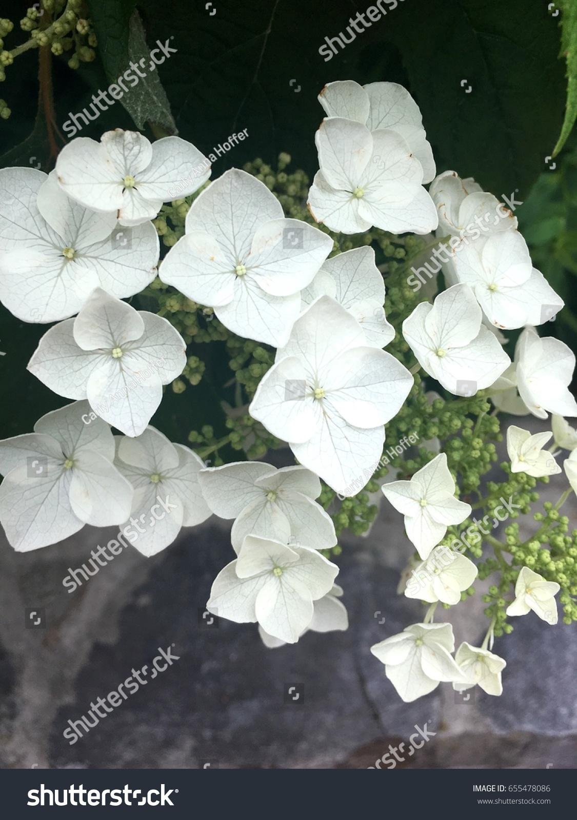 Oakleaf Hydrangea White Flower Four Petal Stock Photo Edit Now