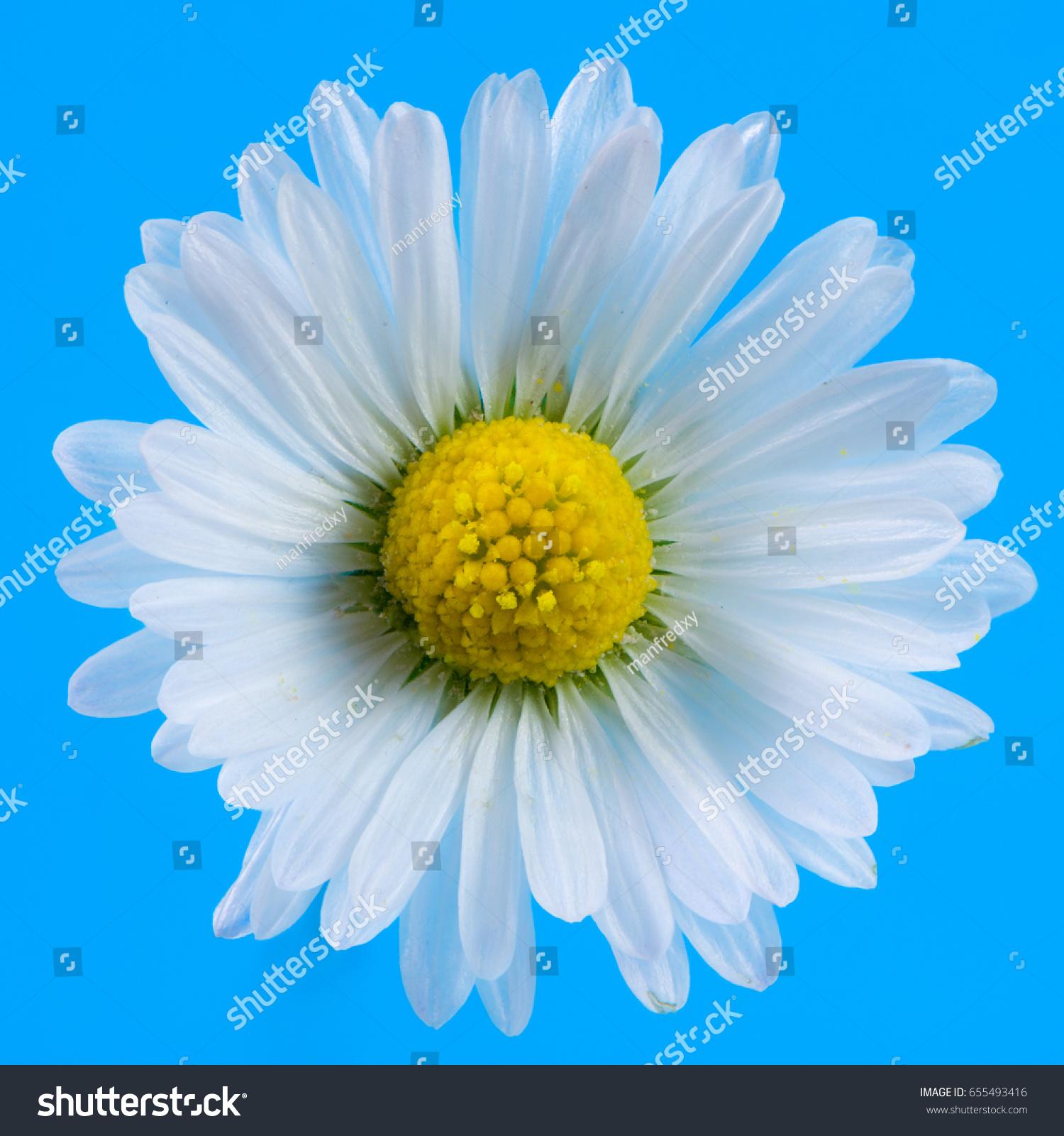 Macro Daisy Flower Blossom Blue Background Stock Photo Edit Now