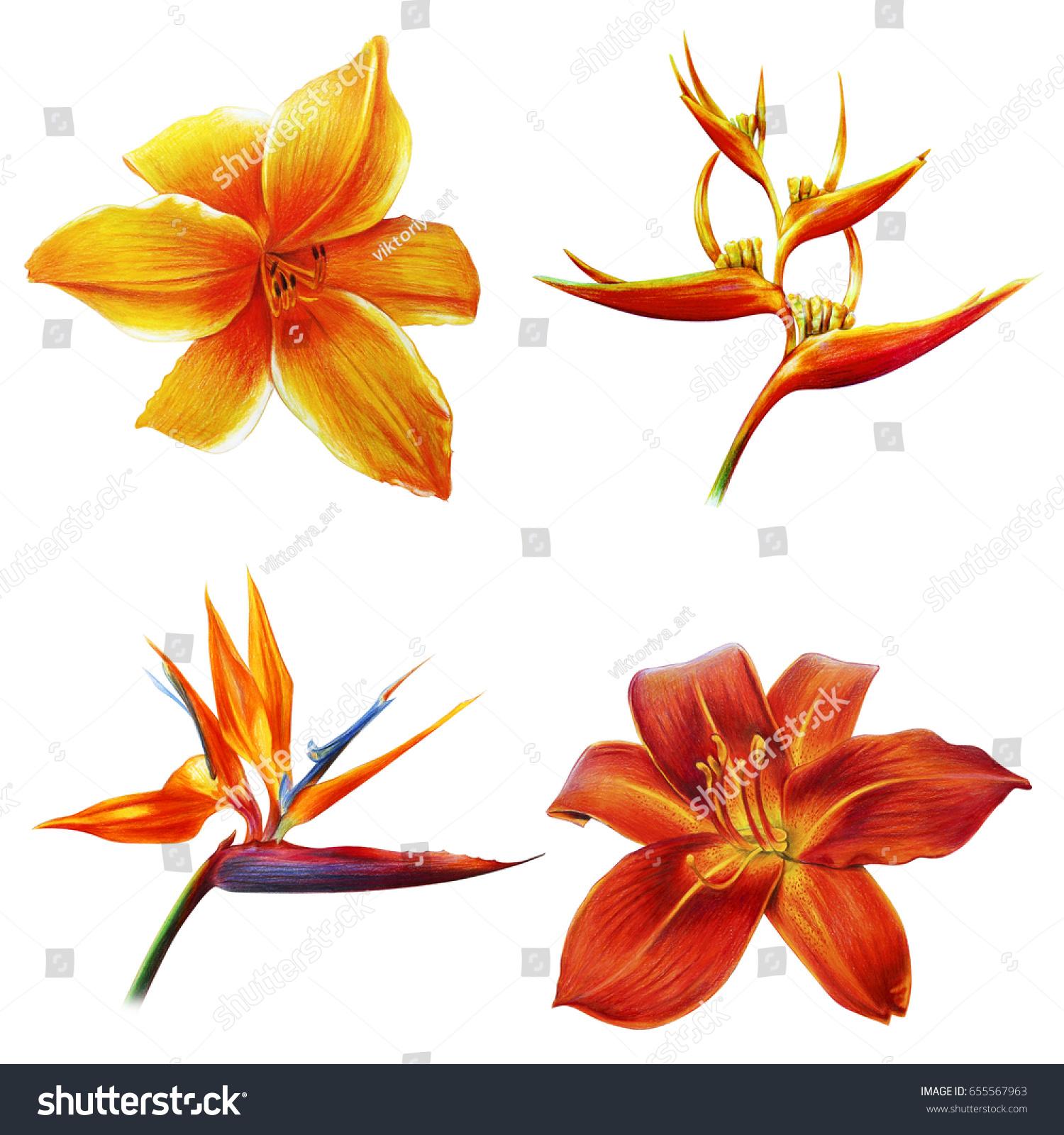 Tropical Orange Flowers On White Background Stock Illustration