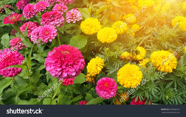 Pink Yellow Marigold Flowers Garden Stock Photo Edit Now 655668223
