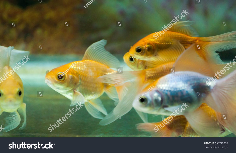 Goldfishes Tropical Aquarium Tank Colorful Background Stock Photo ...