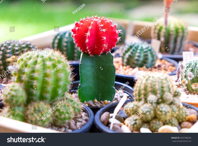 Beautiful Cactus Flowers Stock Photo Edit Now 655798249 Shutterstock
