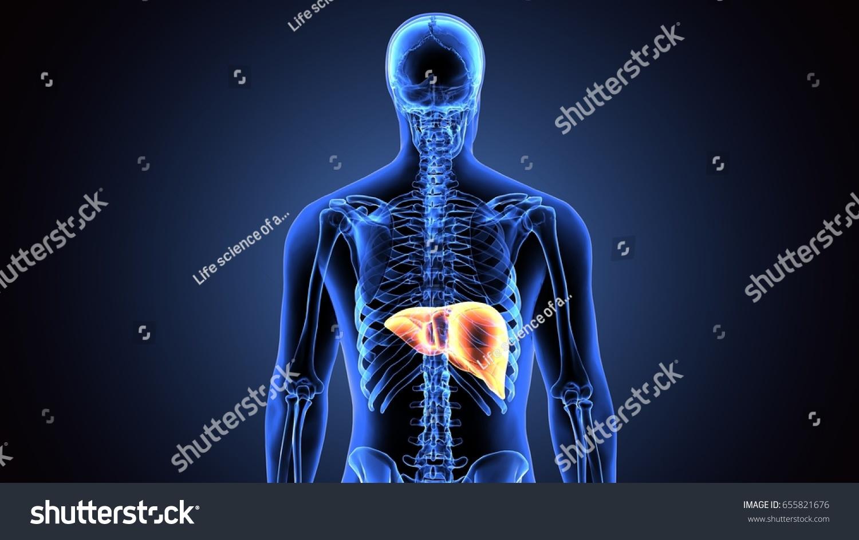 3 D Illustration Human Body Liver Stock Illustration 655821676