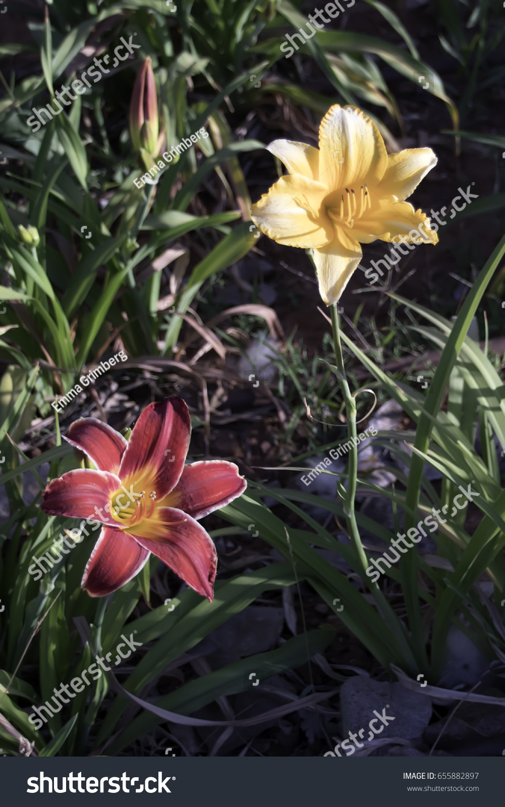 Different colors lily flowers heads closeup stock photo 655882897 different colors lily flowers heads close up in foliage dhlflorist Choice Image