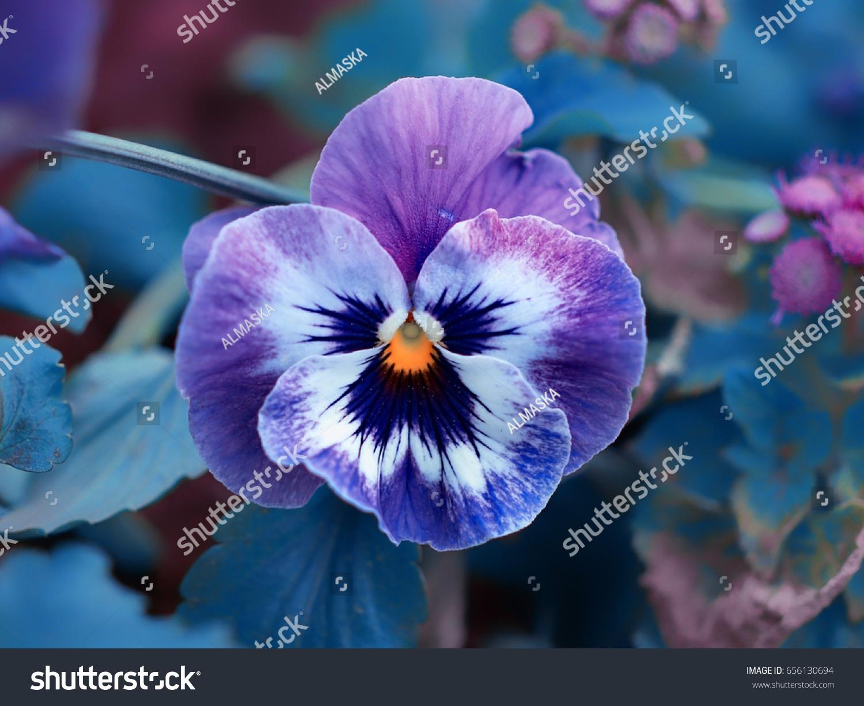 Blue Lilac Purple Flowers Yellow Center Stock Photo Edit Now