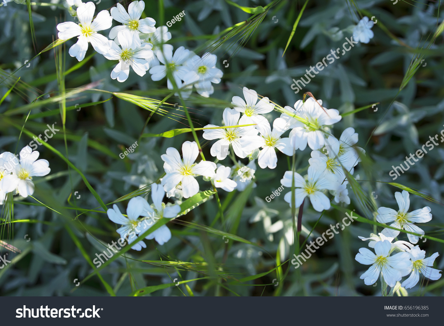 Beautiful White Flowers Grow Among Grass Stock Photo Royalty Free