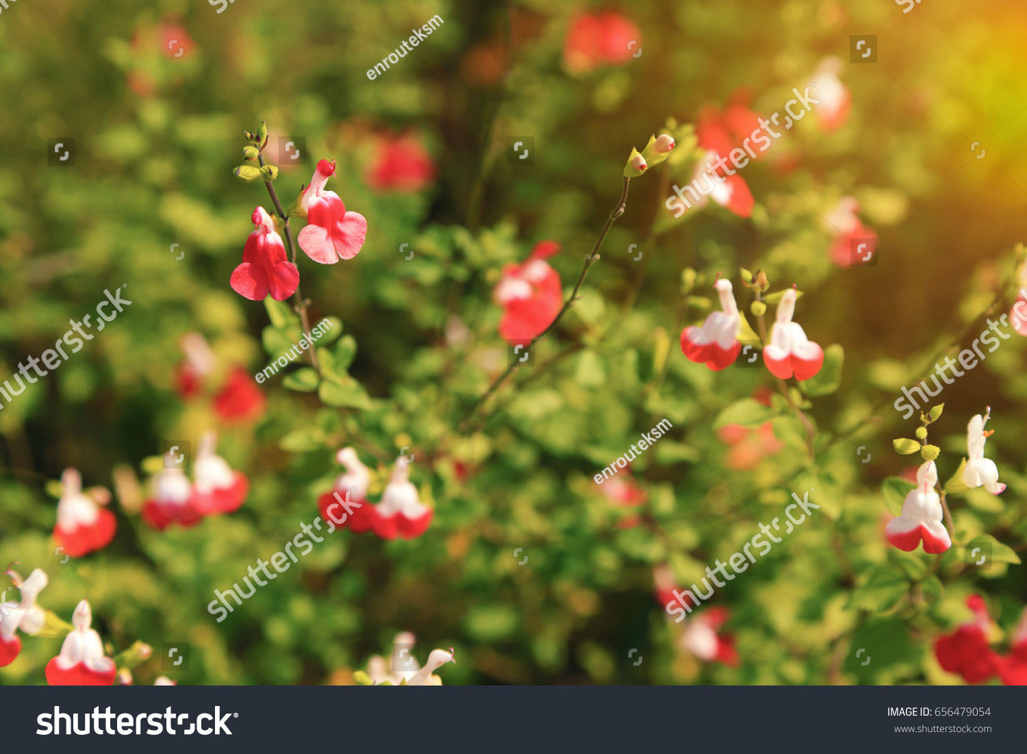 Bright Red White Flowers Salvia Microphylla Stock Photo Download