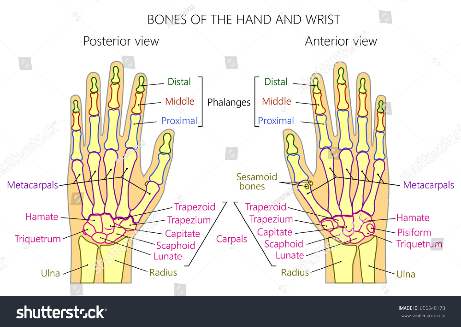 Vector Illustration Human Hand Denominations Palm Stock Vector ...