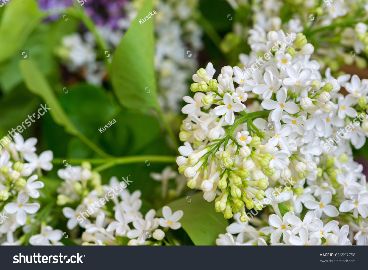 close white lilac flowers stock photo edit now 656597758