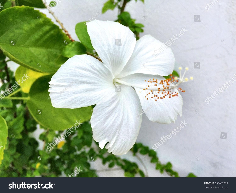White Hibiscus Flower Stock Photo Edit Now 656687983 Shutterstock