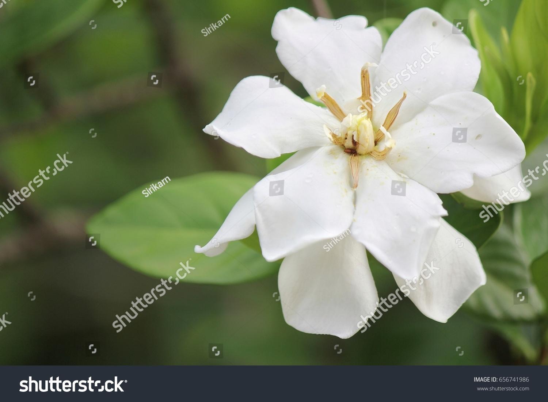 Cape jasmine flower ez canvas id 656741986 izmirmasajfo