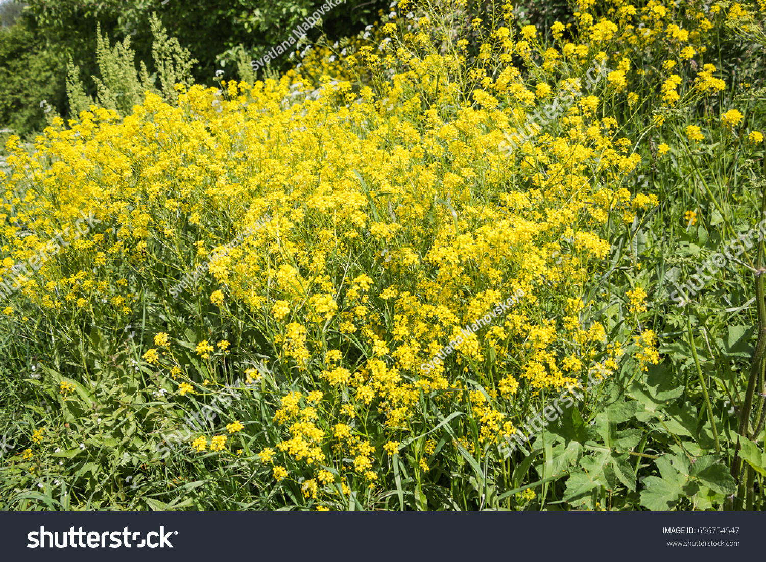 Barbarea Commonly Called Winter Grass Or Yellow Rocket Ez Canvas