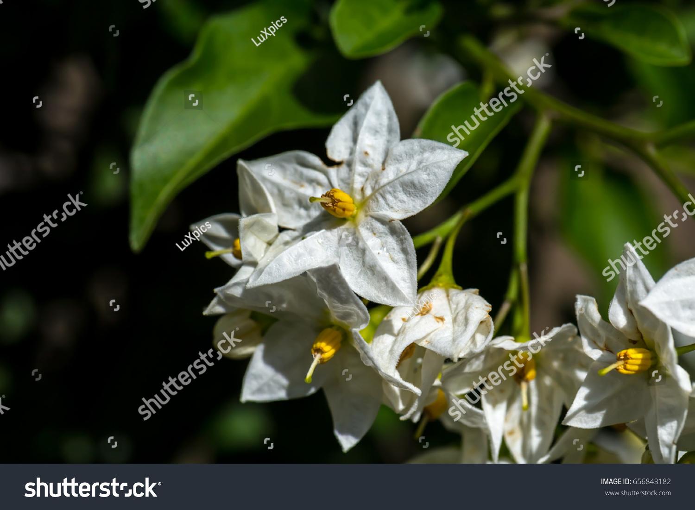 White Yellow Jasmine Star Flower Close Stock Photo Royalty Free