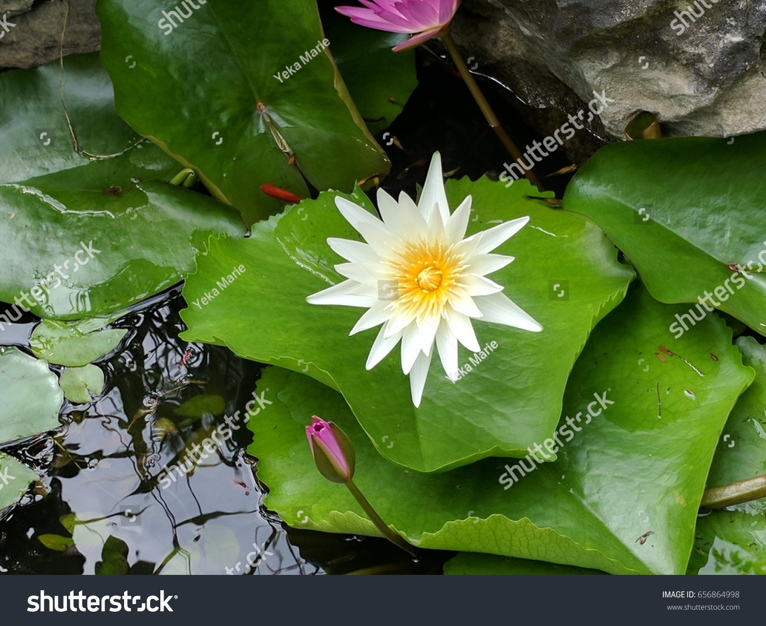 Lily pad flower marble mountain vietnam stock photo royalty free lily pad and flower at marble mountain in vietnam izmirmasajfo