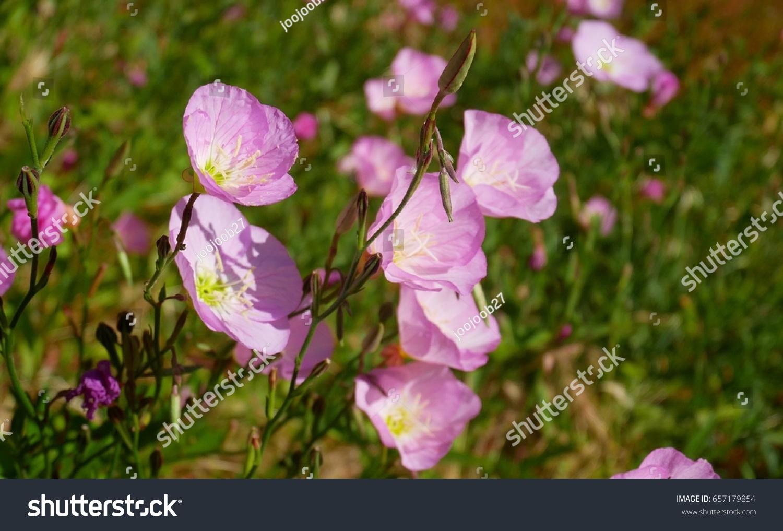 Evening Primrose Pink Ladies Showy Evening Stock Photo Edit Now