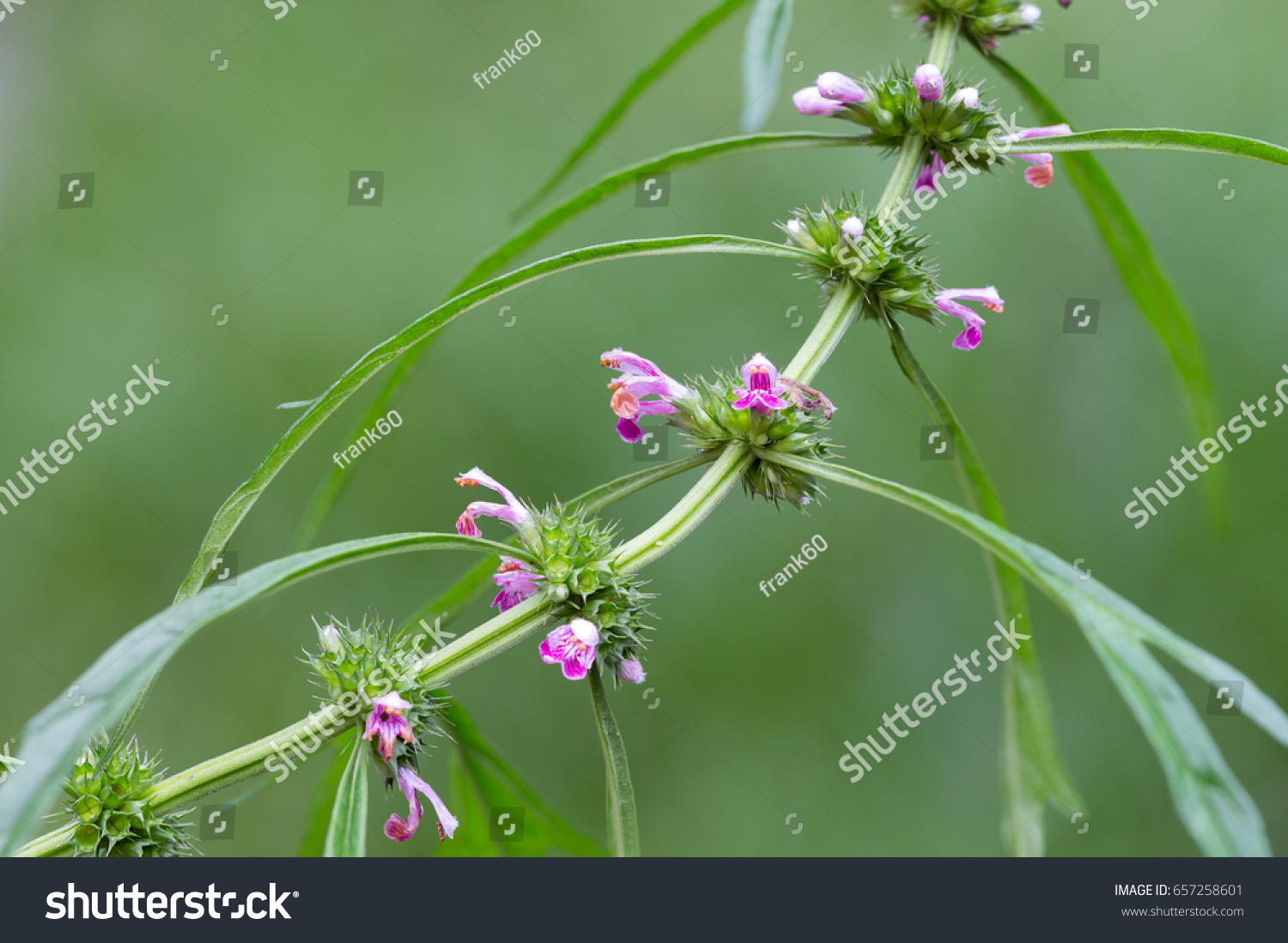 Herb Medicinal Plants Commonly Called Honeyweed Nature Stock Image 657258601