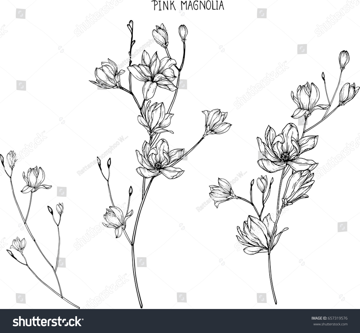 Pink magnolia flowers drawing and sketch with line-art on white backgrounds. #657319576