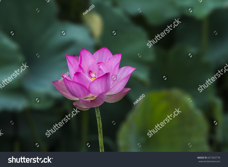 Thai lotus ez canvas id 657363778 izmirmasajfo