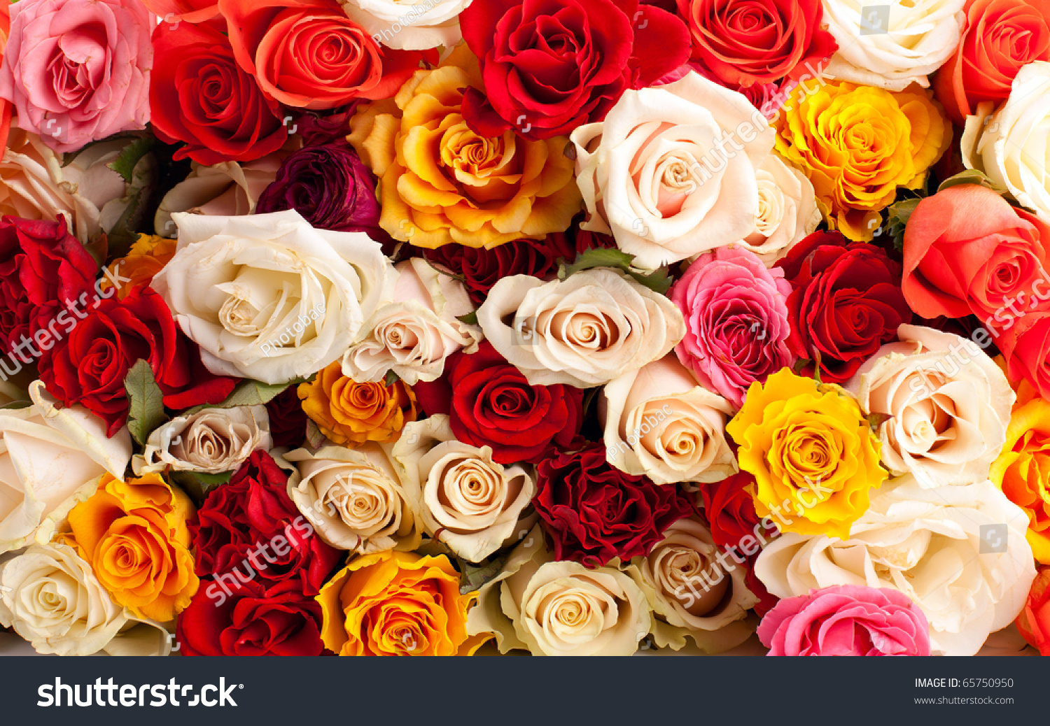 background colorful roses stock photo 65750950 shutterstock