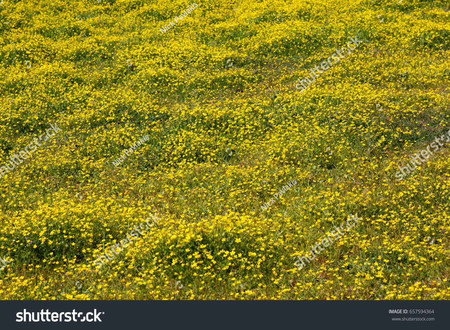 Yellow Flowers Meadow Field Spring Spring Stock Photo 657594364