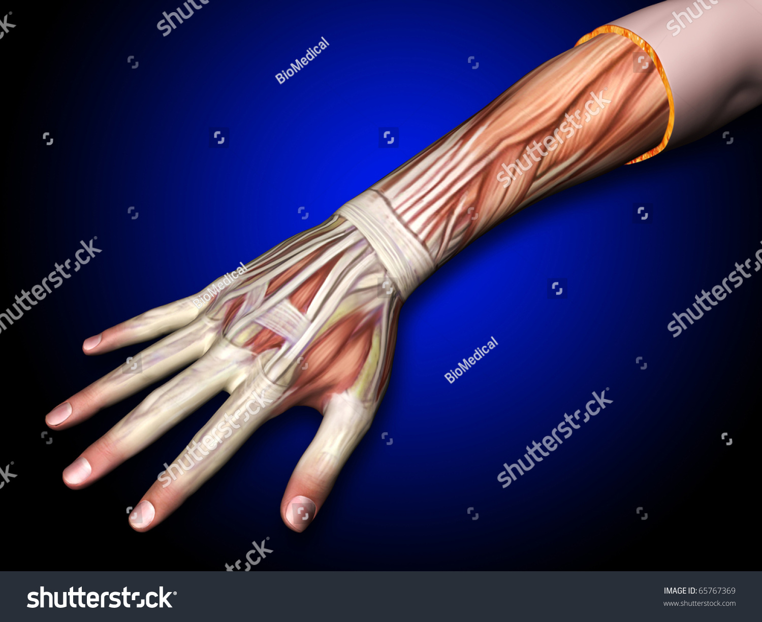 Arm Hand Muscles Tendons Hand Forearm Stock Illustration 65767369