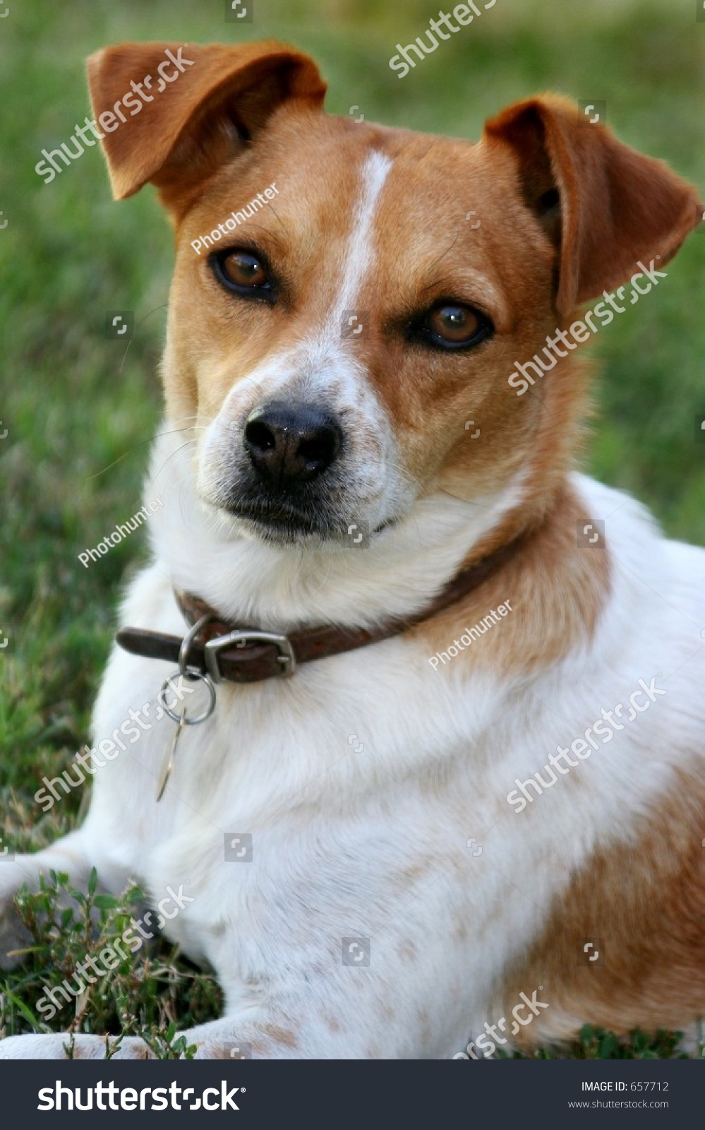 Brown And White Dog Small Brown Whi...