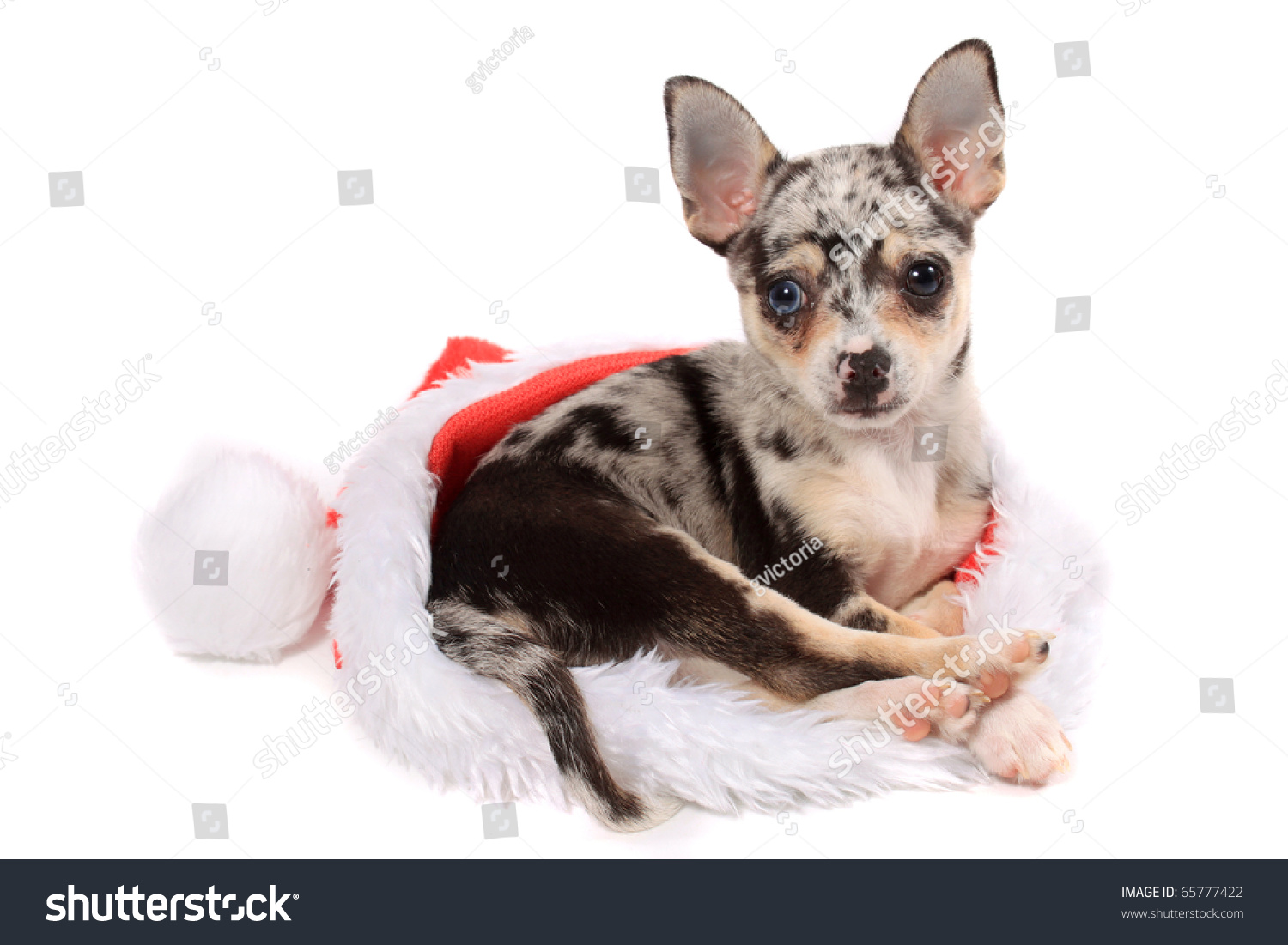 spotted chihuahua cute little unique black spotted chihuahua stock photo 375