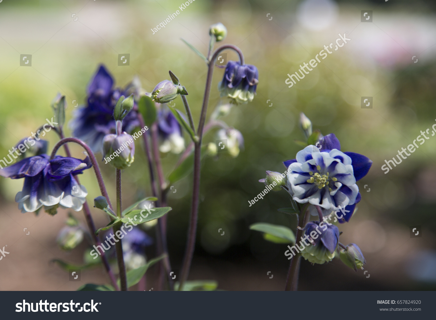 Isolated view blooming columbine flowers bi color stock photo isolated view blooming columbine flowers bi color vibrant purple and white pale yellow izmirmasajfo