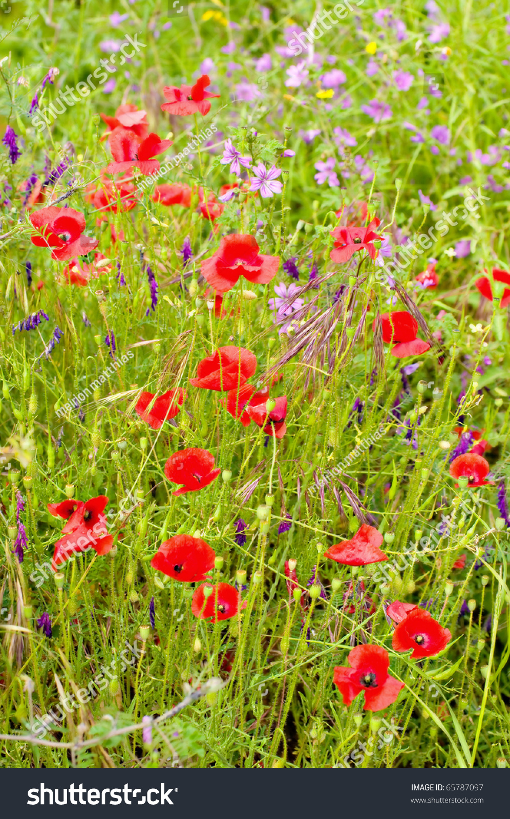 Beautiful Wild Spring Flowers On Greek Stock Photo 65787097