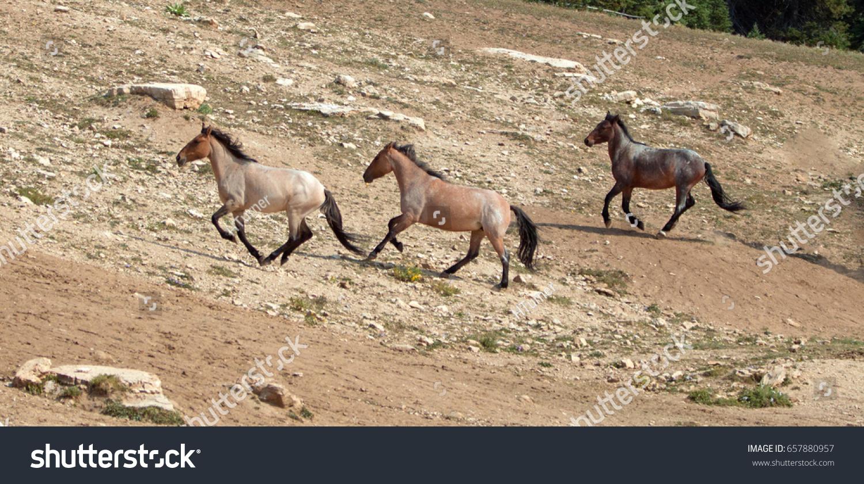 Wild Horse Herd Running Uphill Pryor Stock Photo Edit Now 657880957