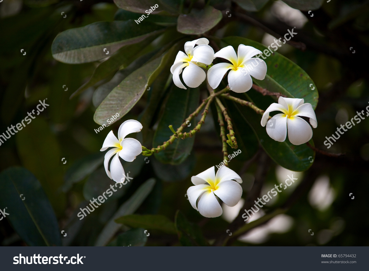 Hawaiian plumeria flowers growing on tree stock photo royalty free hawaiian plumeria flowers growing on a tree izmirmasajfo
