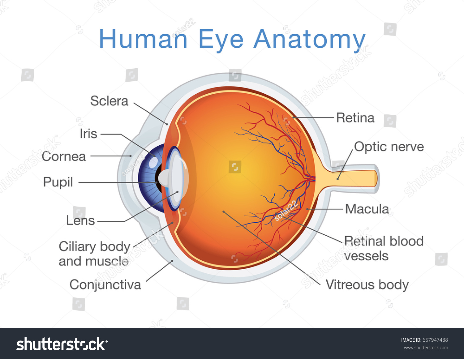 Components Human Eye Illustration About Anatomy Stock Vector ...