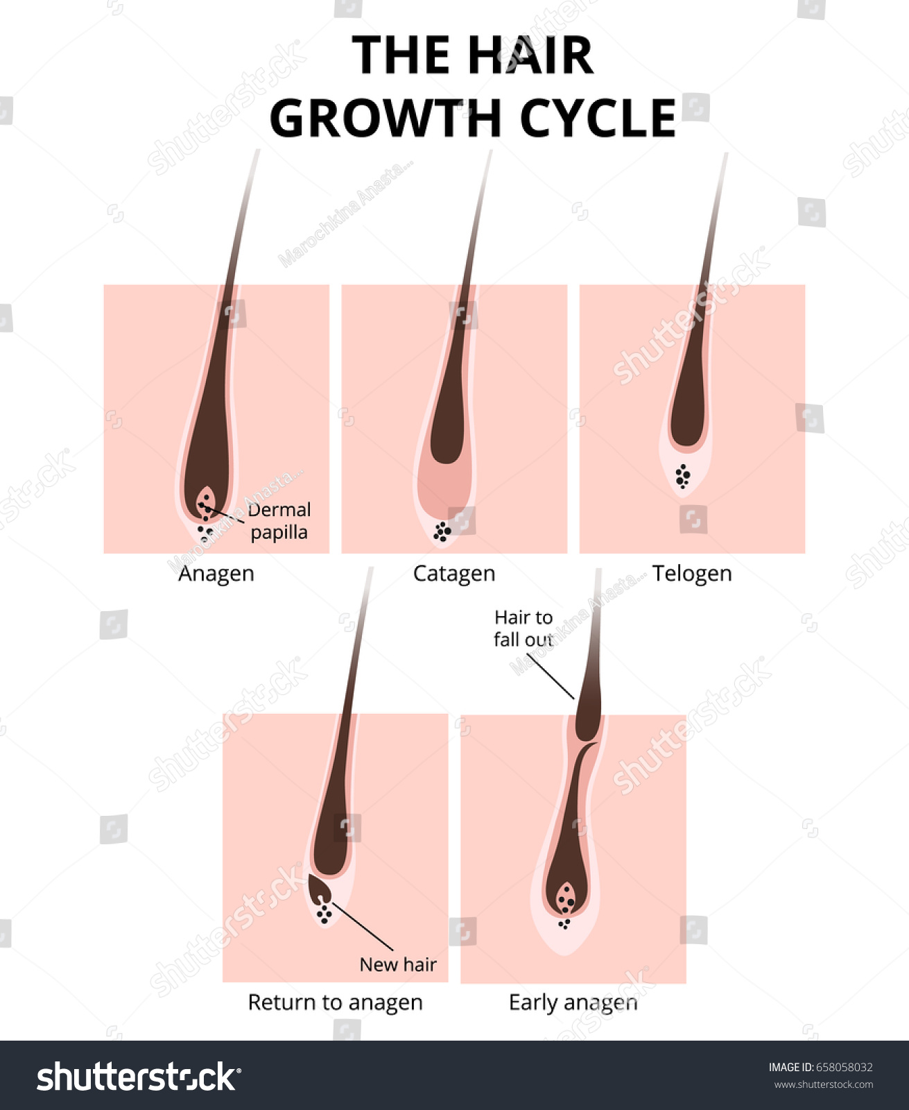 Hair Growth Phase Anatomy Diagram Human Stock Vector 658058032