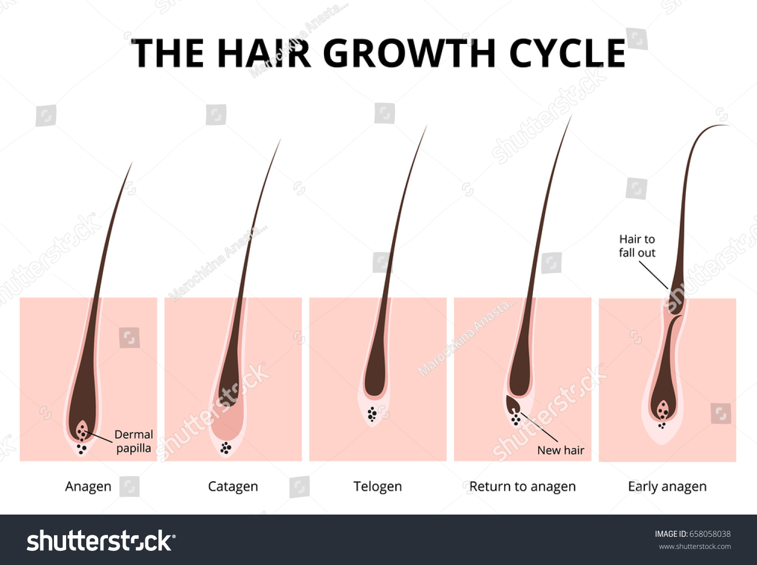 Hair Growth Phase Anatomy Diagram Human Stock Vector 658058038