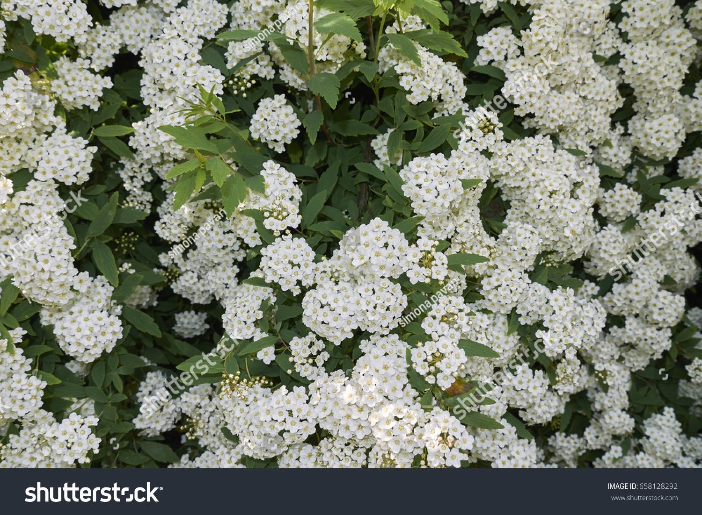 Shrub White Flowers Stock Photo Edit Now 658128292 Shutterstock