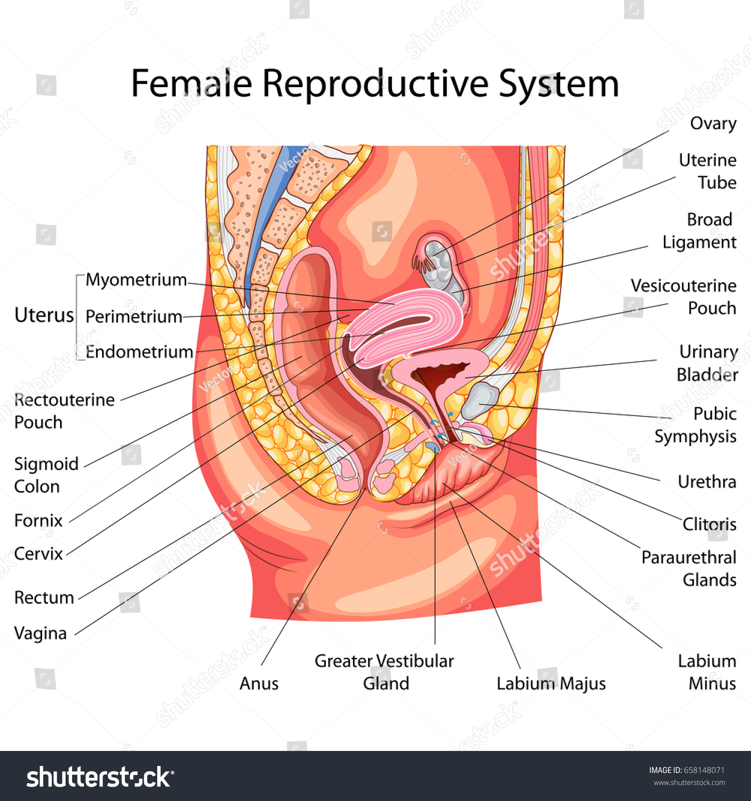 Education Chart Biology Female Reproductive System Stock Vector