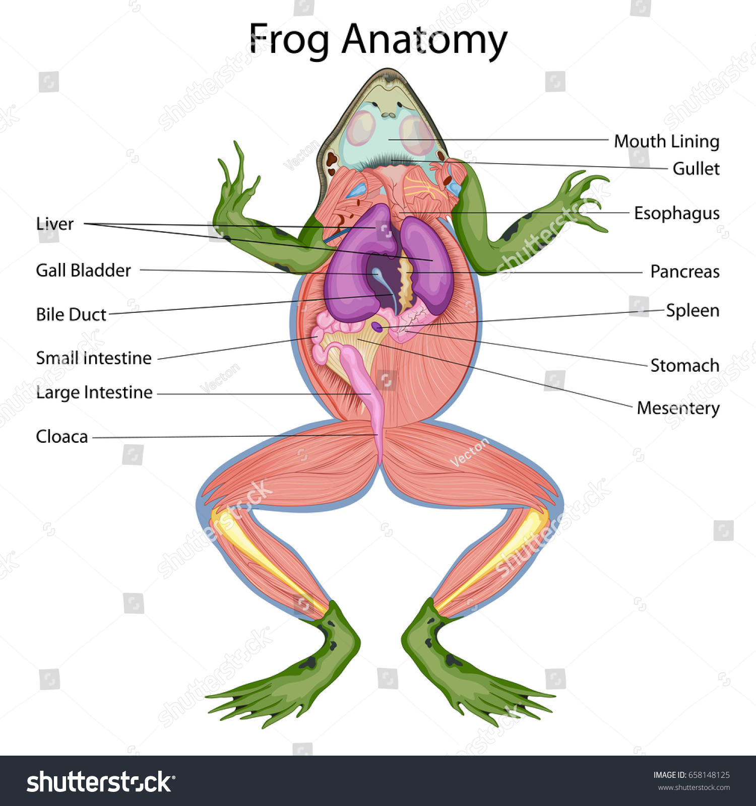 Frog internal organs diagram