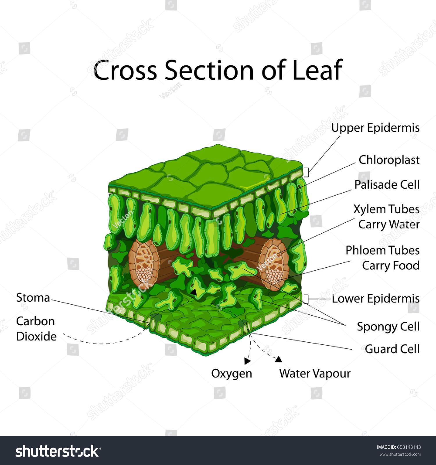 Education chart biology cross section leaf stock vector 658148143 education chart of biology for cross section of leaf diagram vector illustration pooptronica