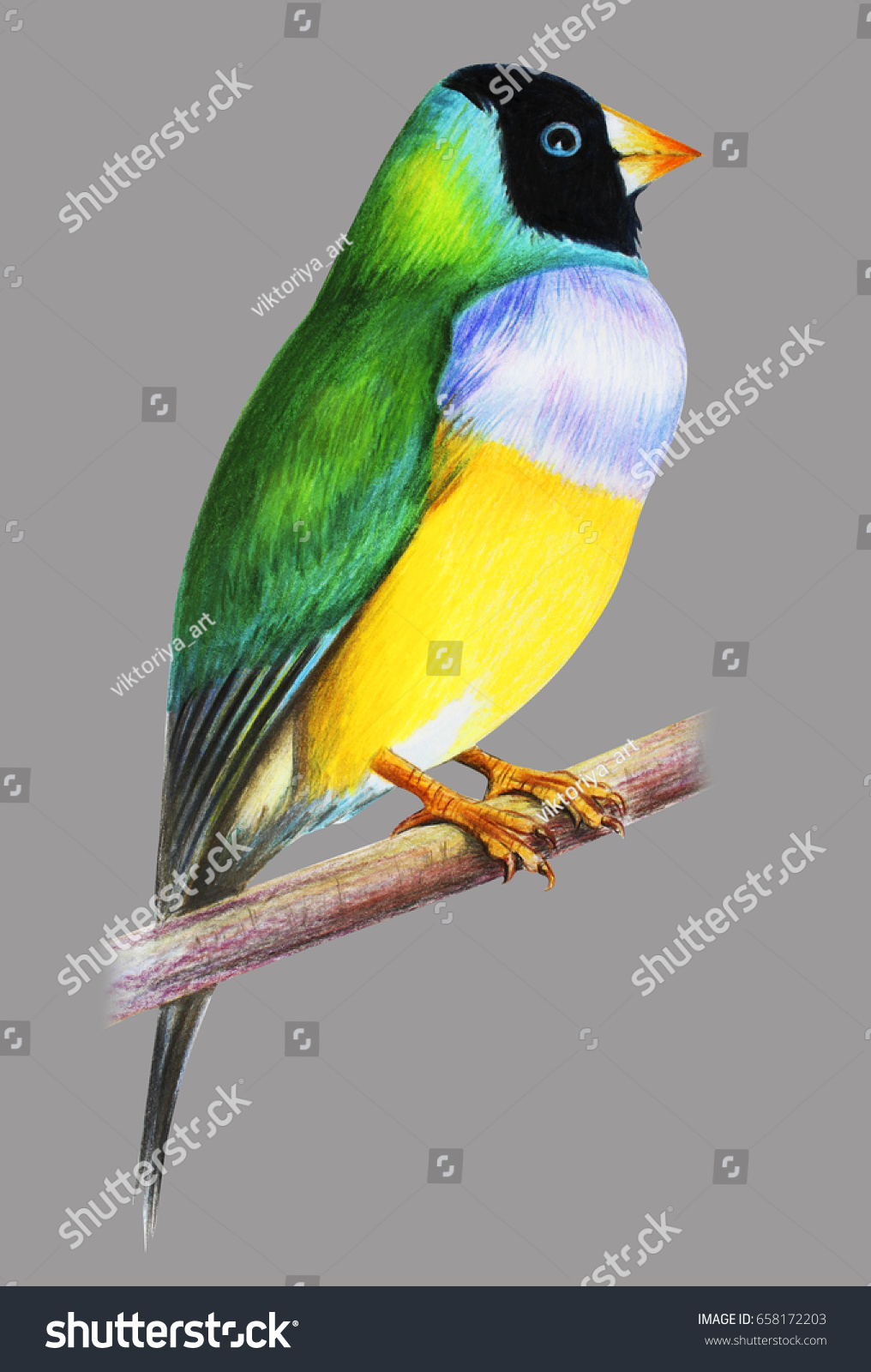 Gouldian finch bird on gray background stock illustration gouldian finch bird on gray background biocorpaavc