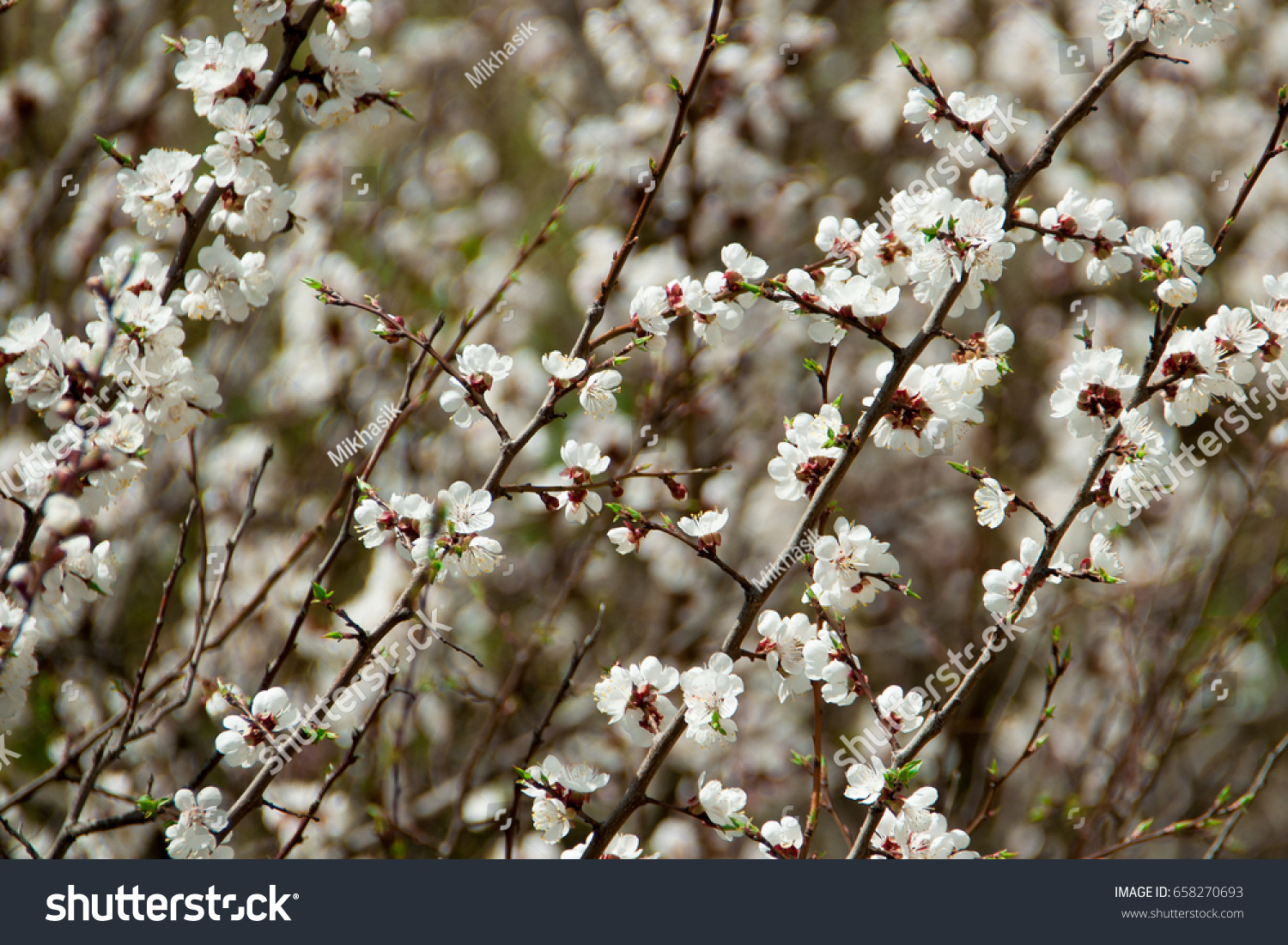 Earlier Flowering Of A Tree With White Flowers Ez Canvas