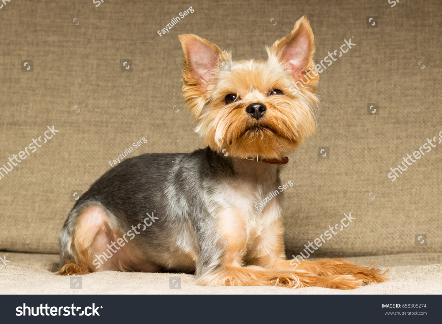 Dog Yorkshire Terrier After Haircut On Stock Photo Edit Now