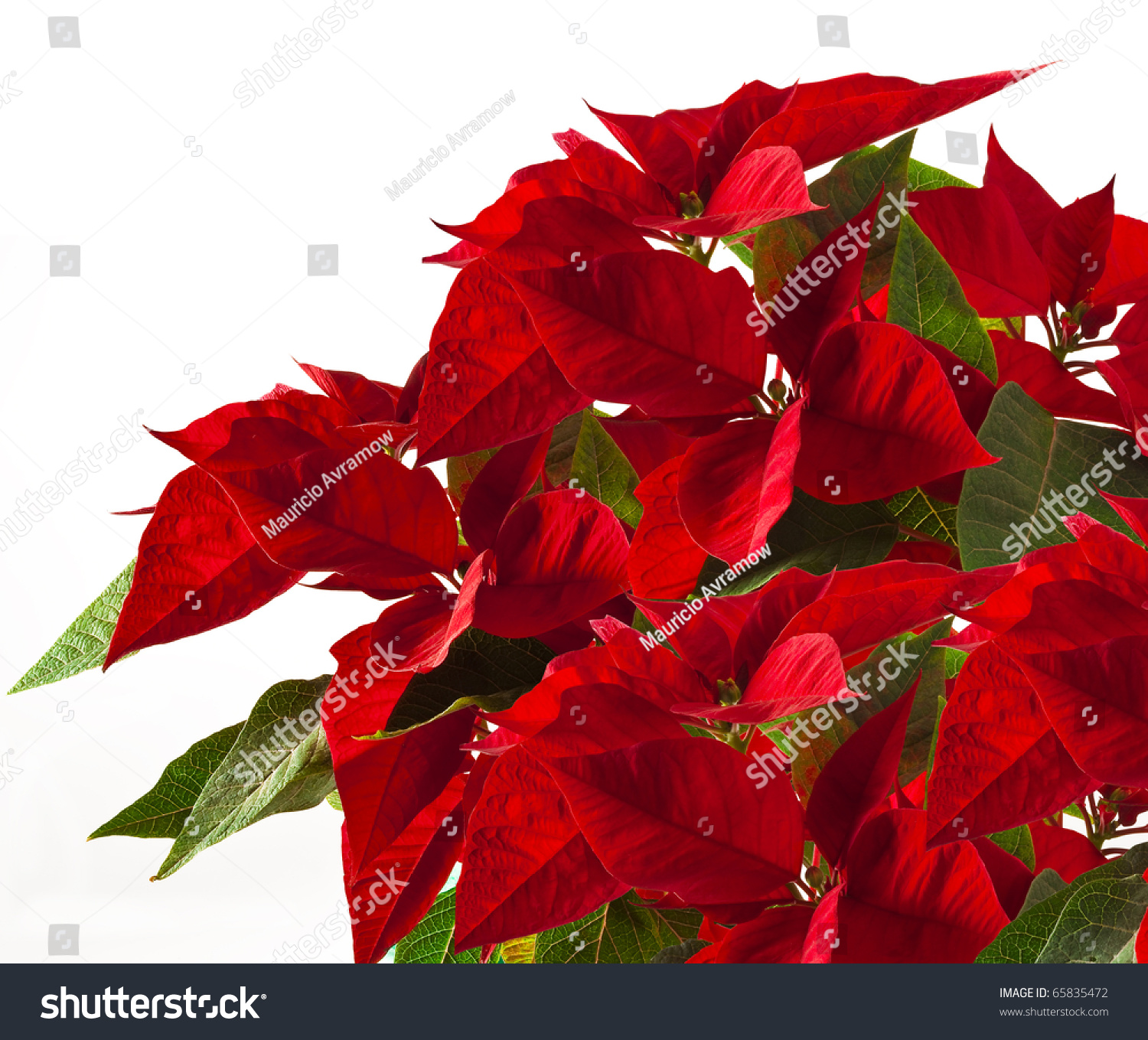Poinsettia Traditional Christmas Red Flower Stock Photo