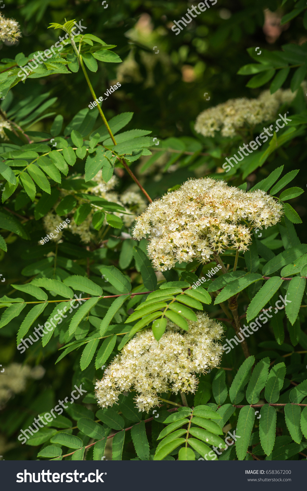 White Flowers That Grow On Bushes Choice Image Flower Decoration Ideas