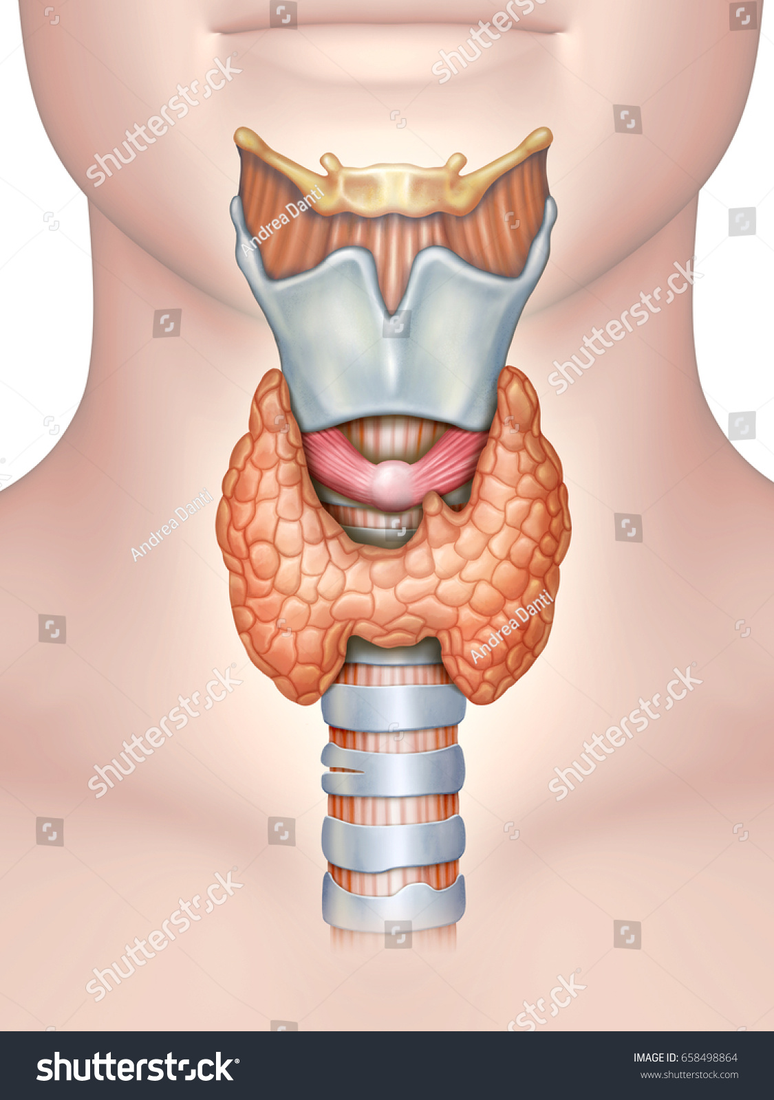 Anatomy Thyroid Gland Digital Illustration Stock Illustration