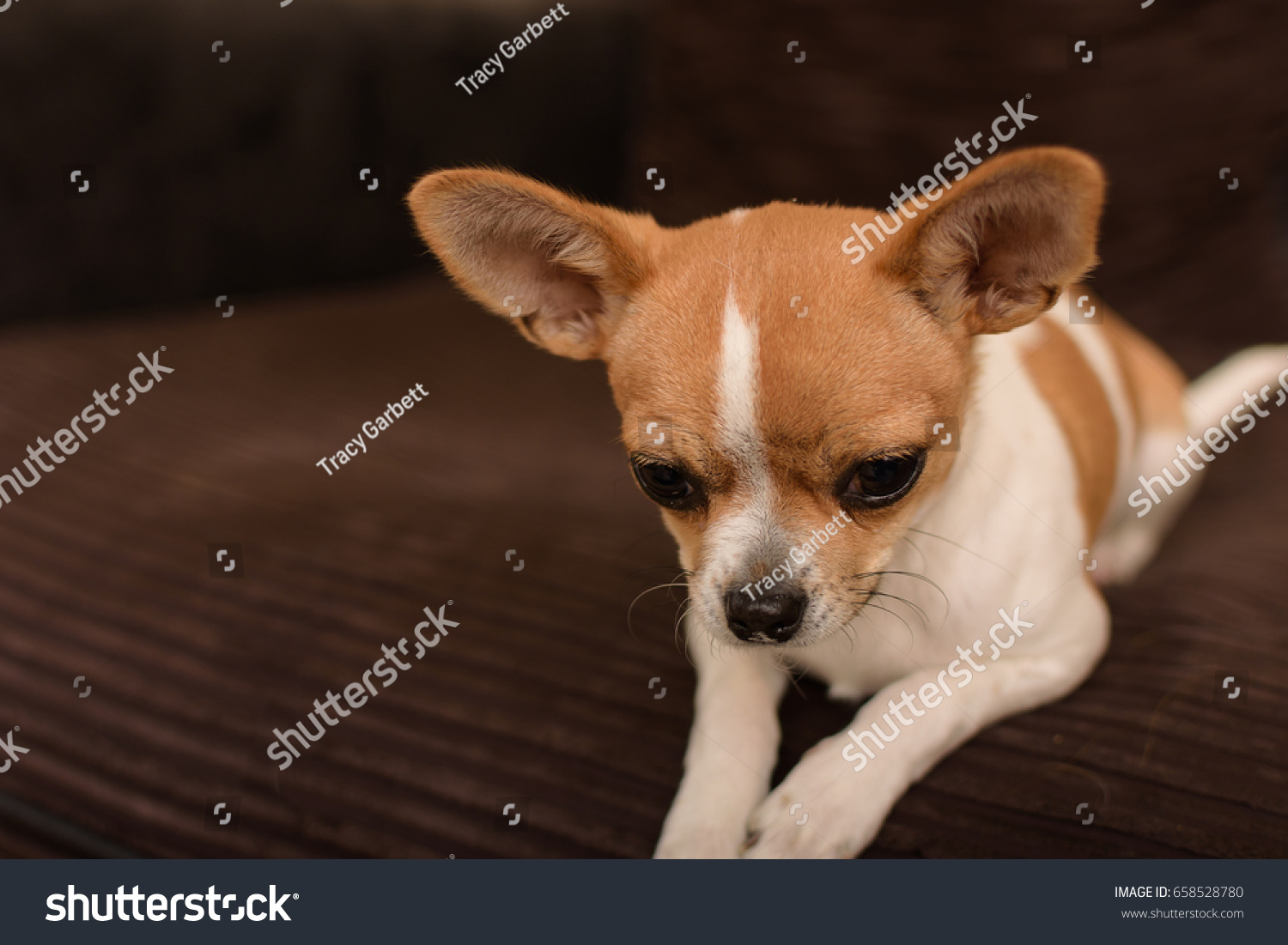 Cute Tan White Chihuahua Puppy Dog Stock Photo Edit Now 658528780