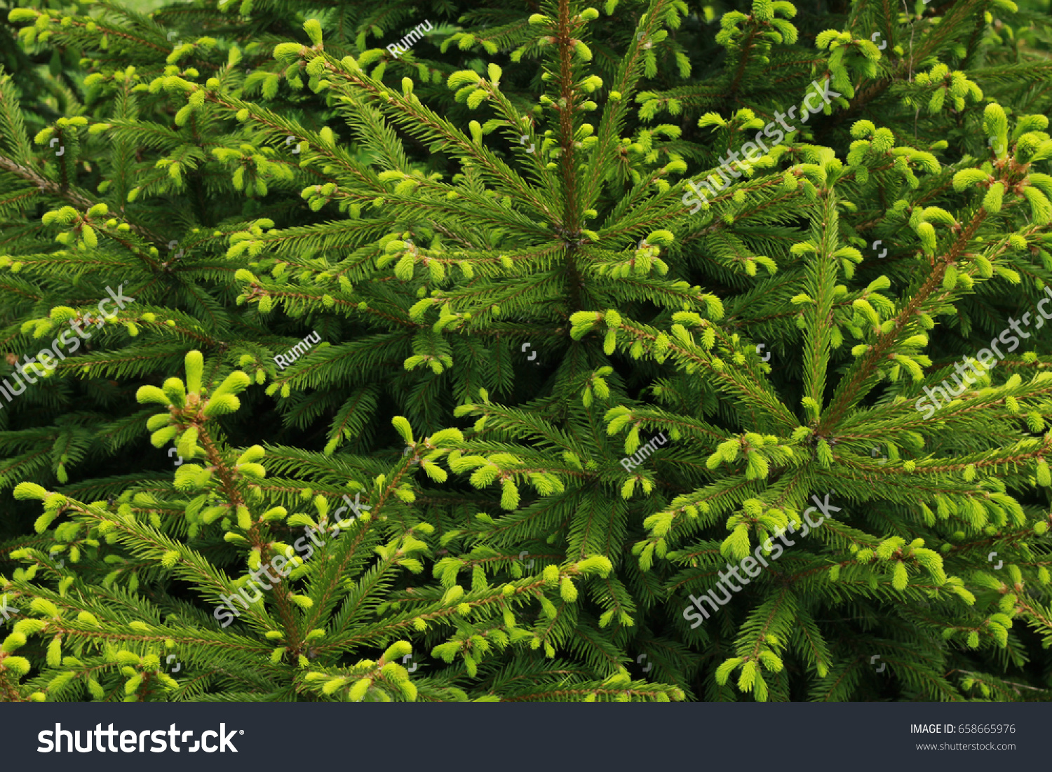 Background Christmas Tree Branches Fresh Green Stock Photo Edit Now