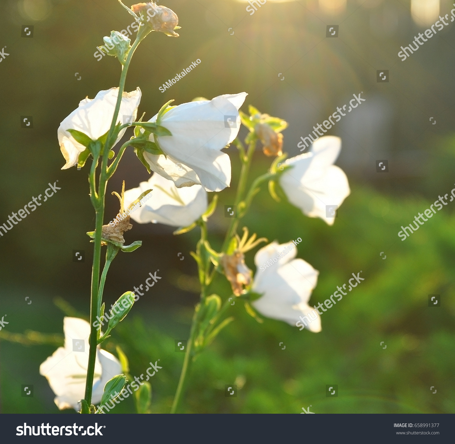 White Bell Flower Close Up Campanula Blossom Beautiful White Bell